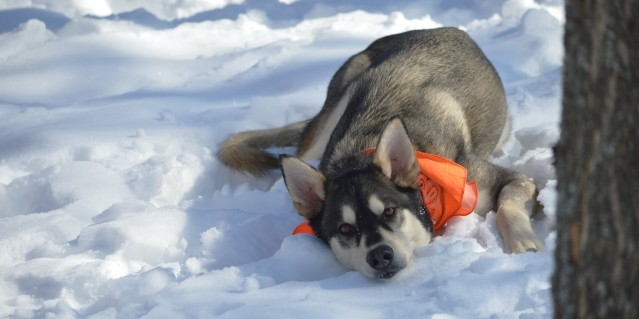 dog sledding, dog sled rides, dog sled tours