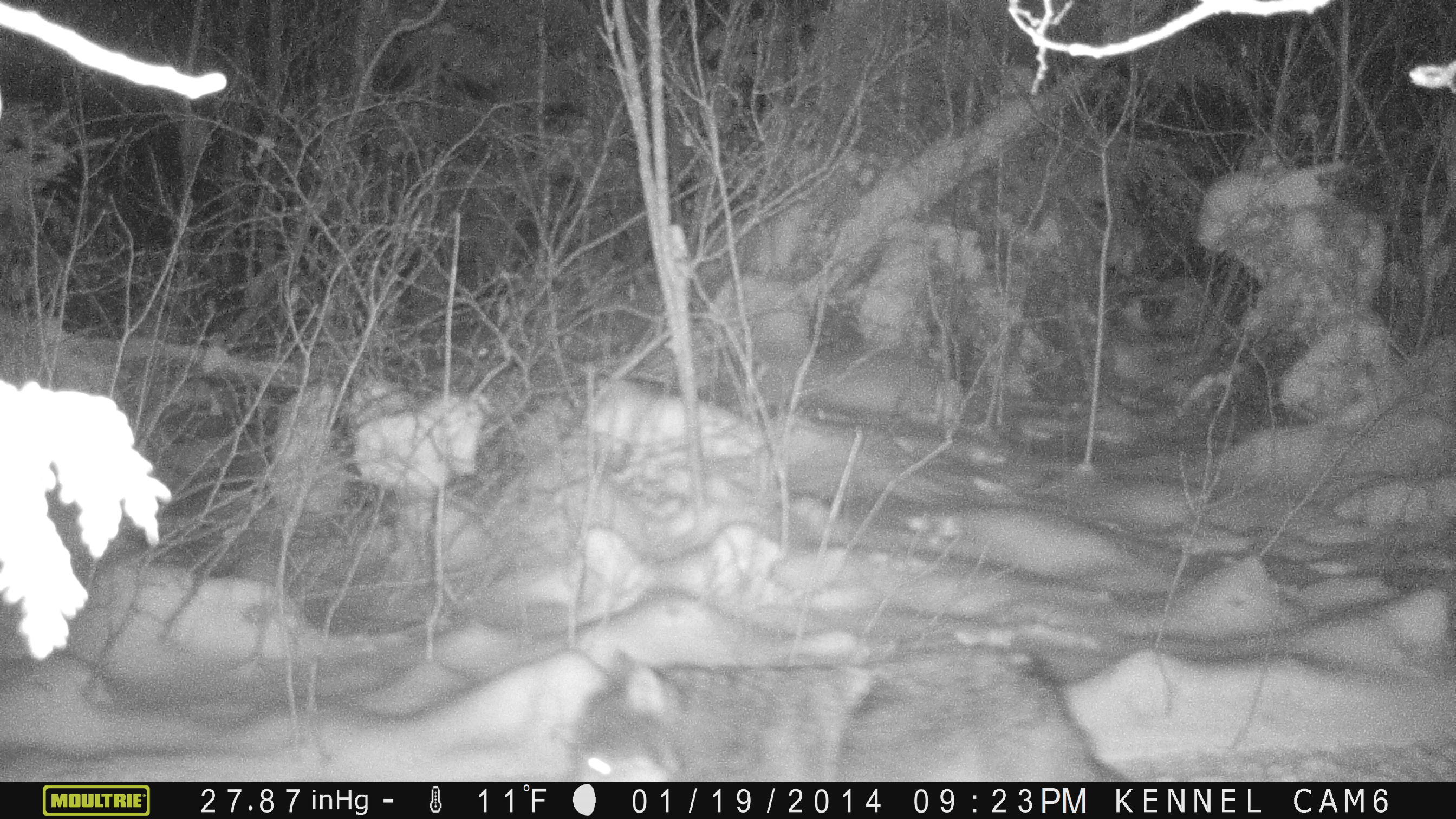 timber wolf on cam