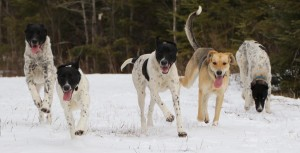 eurohound sled dogs breeding breeder