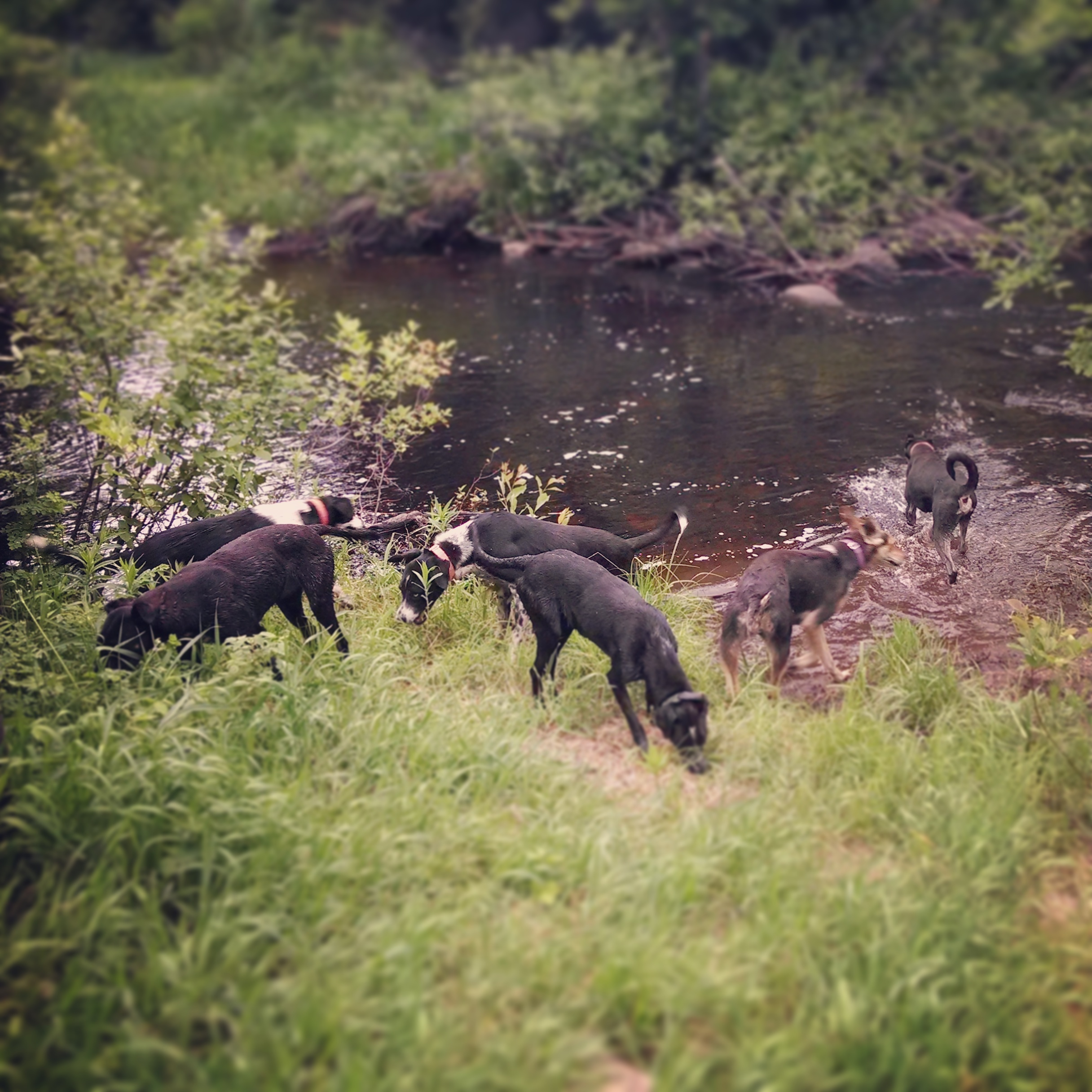 summer free running sled dogs