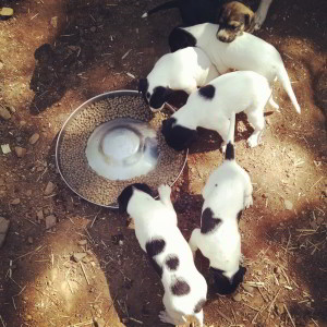 eurohound sprint racing sled dogs puppies eating kibble