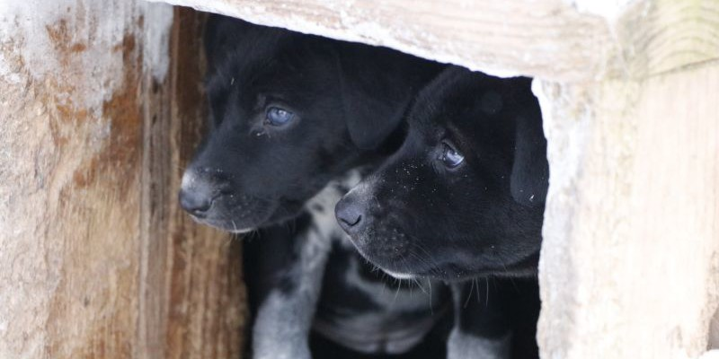 puppies for sale sled dog eurohound greyster