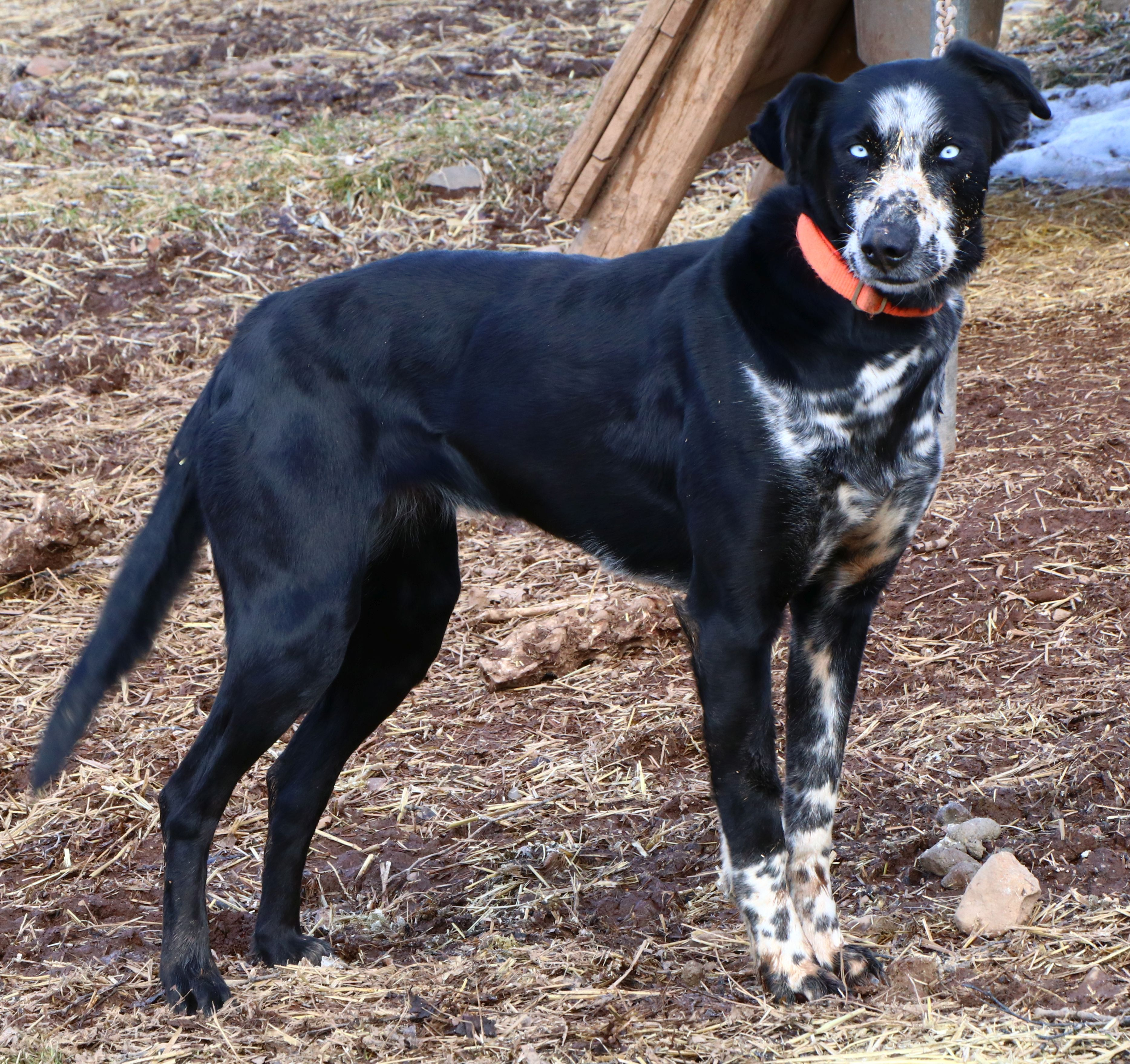Sled Dog For Sale Mn