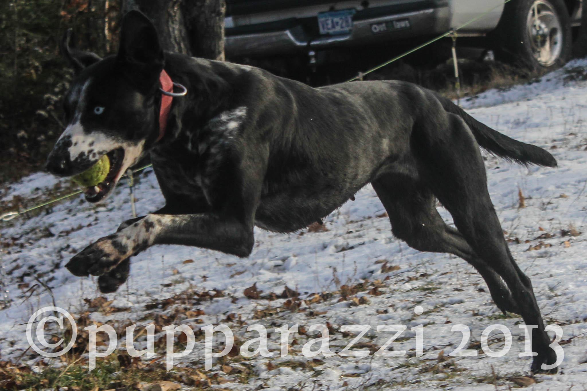 eurohound playing fetch