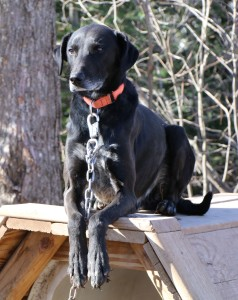 hound cross greyster euorhound sprint racing sled dog alaskan husky sledding dogsledding duluth two harbors mn puppies for sale