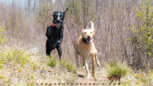free running sled dogs exercise summer