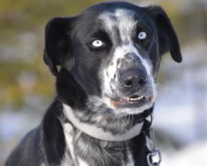 blue eyed eurohound sled dog