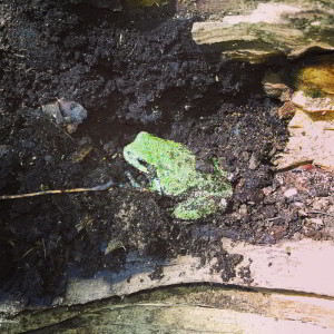 nature frogs green tree