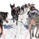 eurohound sprint racing sled dogs